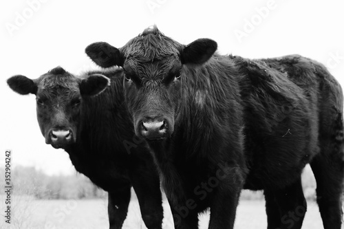 фотография Close up Black Angus cow pair on farm in black and white, young cattle looking at camera close up