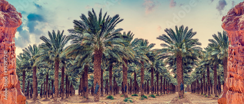 Photo Panorama with red rocks and industrial plantation of date palms,  image depicts