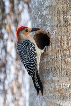 Male Red-bellied Woodpecker On...
