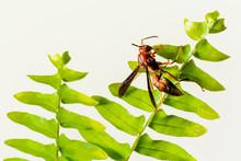 Red Paper Wasp (Polistes Carol...
