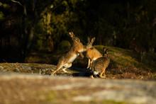 European Hares Fighting As Par...