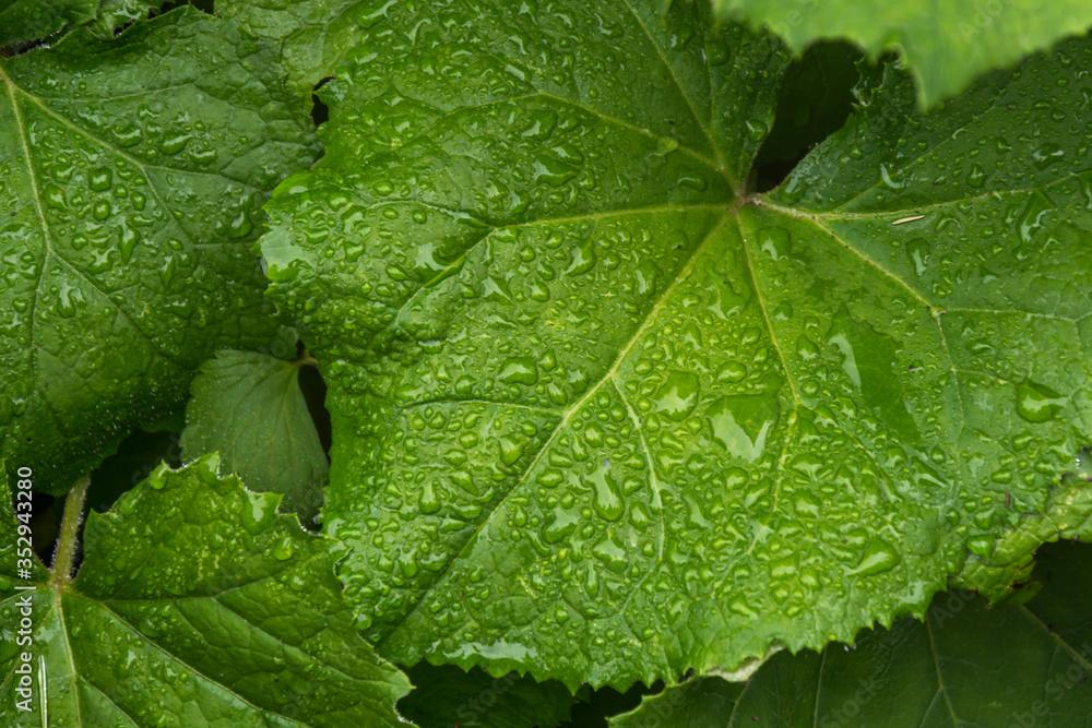 Fototapeta zielony liść w kroplach deszczu