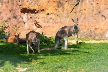 Naklejka na ściany i meble Kangaroo - Macropodidae on green grass in front of a brown wall.