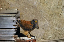 The Lesser Kestrel (Falco Naumanni) Sitting An Old Village Roof. Kestrel In A Typical Position Near A Nest With A Mouse In Its Beak In The Village