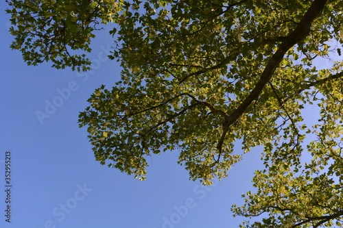 Photo Sycamore tree, also known as Acer pseudoplatanus, branches seen from below again