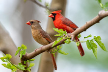 Northern Cardinal Pair In Spring