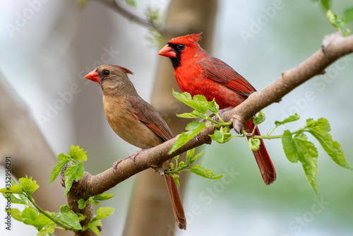 Foto Northern Cardinal Pair in Spring
