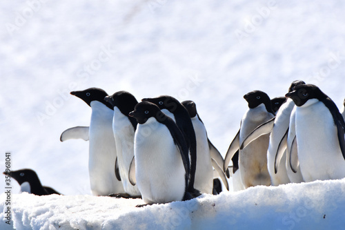 Photo Adelie penguins (Hope Bay, Antarctica)