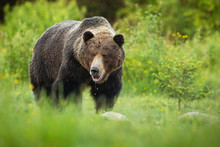 Big Brown Bear, Ursus Arctos, Slobbering With Mouth Open And Saliva Dropping Down On Green Meadow In Summer. Large Male Mammal With Wet Fur From Low Angle View.