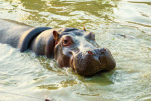 Close Up Of Cute Baby Hippopotamus's Face While Soaking In The Zoo's Water Pool