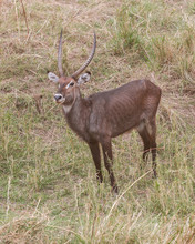 Waterbuck Standing In The Long...