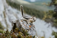 Close Up/detailed View Of Cute Little Chipmunk Isolated Posing Sitting On The Rock In Canadian Rockies. Green Forest Natural Background. East End Of Rundle Trail, Canmore, Canada