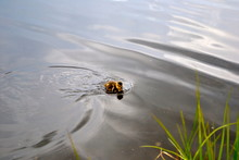 Duckling On The Water