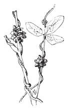 Cuscuta Plant, Vintage Illustration.