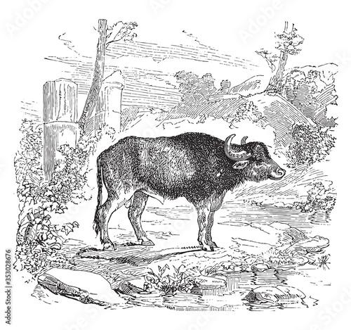 Aurochs, vintage illustration. Tablou Canvas