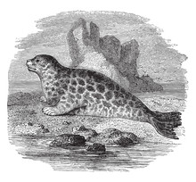 Fur Seal, Vintage Illustration.