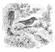 Crossbill Bird, Vintage Illustration.
