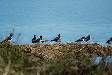 A Flock Of Oyster Catcher Birds On Rocks By The Shore