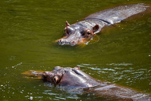 Two Hippos Floats On The River...