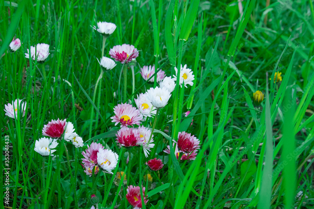Small white or pink flowers on the ground in the grass, common spring flower, known as daisy, common daisy, lawn or meadow daisy Bellis perennis . Spring garden flowers.