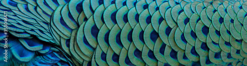 Close-up of peacock feathers for making a beautiful background. Wallpaper Mural