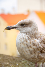 Warm Toned Close Up Portrait Of Stern And Proud Seagull With Blurred City/houses Background, Tallinn, Estonia
