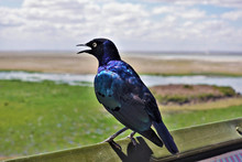 A Beautiful African Bird, A Brilliant Starling. A Bird Sits In Profile, Plumage Shimmers In Shades Of Blue, Dark Blue, Purple, Black. The Beak Is Open. Background - Savannah And Cloudy Sky.