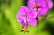 "canvas print picture - ""Purple Aubrieta"" flowers or Aubretia flowers Aubrieta Deltoidea . Aubrietas are flowering plants originate from southern of Europe to central Asia. See my other flowers"