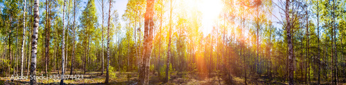 Fotografía Wide panoramic beautiful sunny spring summer birch tree forest landscape