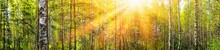 Wide Panoramic Beautiful Sunny Spring Summer Birch Tree Forest Landscape