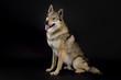 Dog (Czechoslovakian Wolfdog) sitting in studio on black background