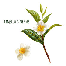Camellia Sinensis, Green Tea B...