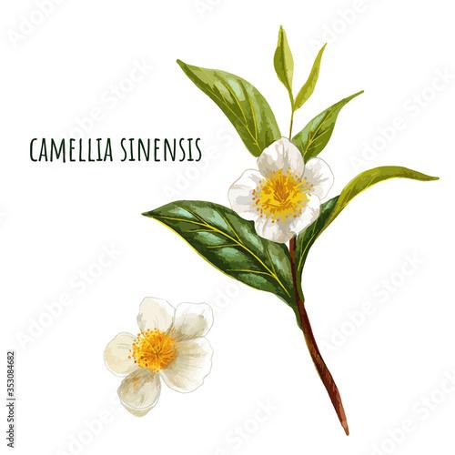 Cuadros en Lienzo Camellia sinensis, green tea branch with flowers
