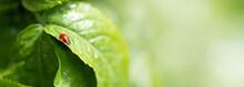 Ladybug Sitting On Green Leaf ...