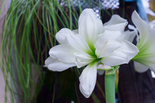 Amaryllis Flowers Bloom At The...