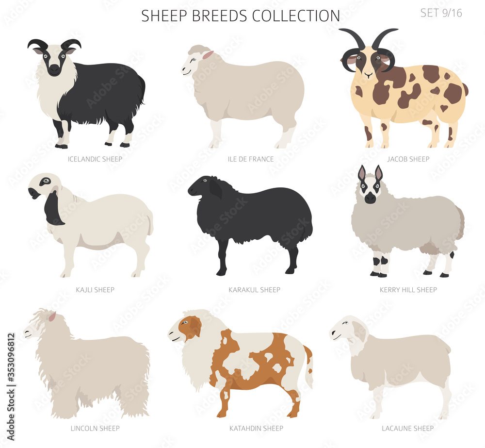 Fototapeta Sheep breeds collection 9. Farm animals set. Flat design