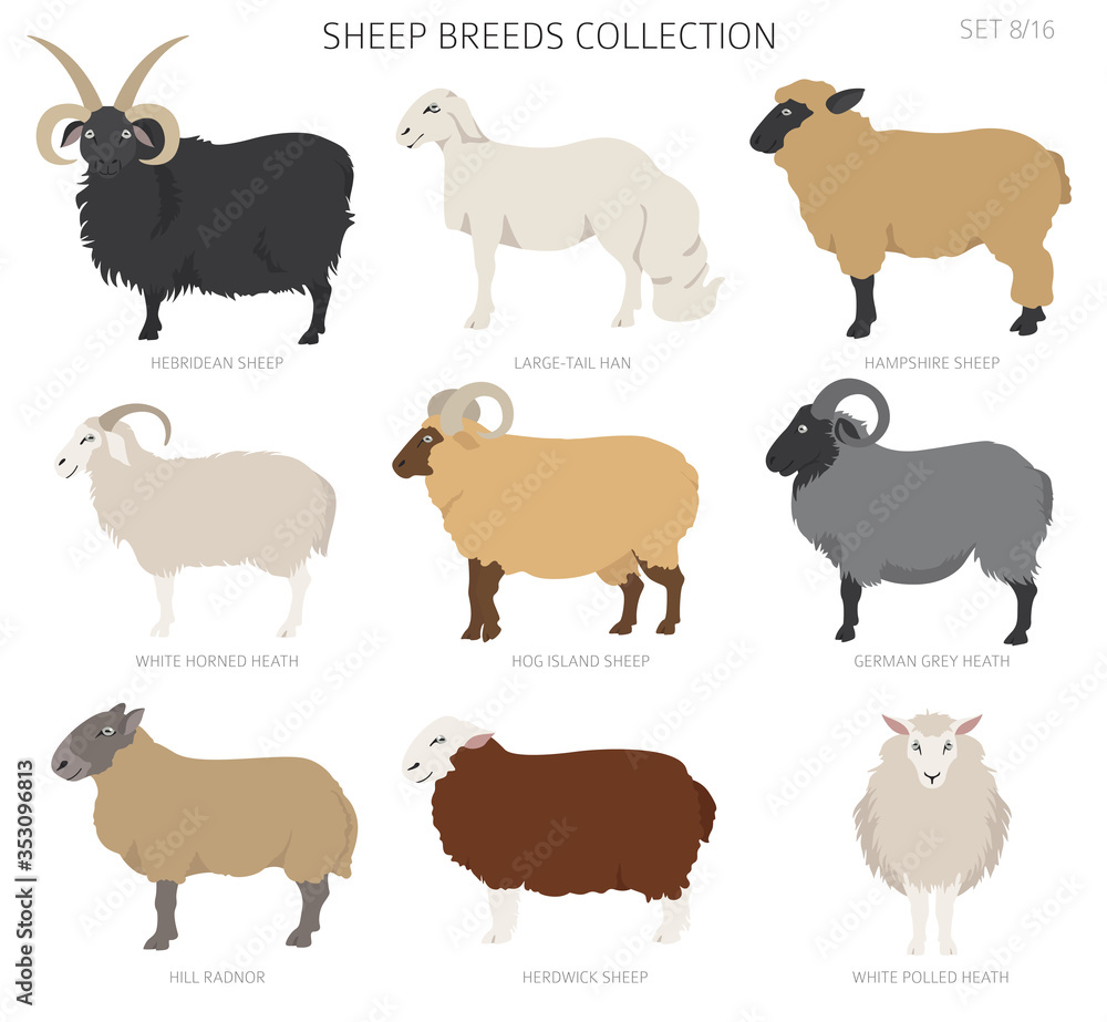 Fototapeta Sheep breeds collection 8. Farm animals set. Flat design