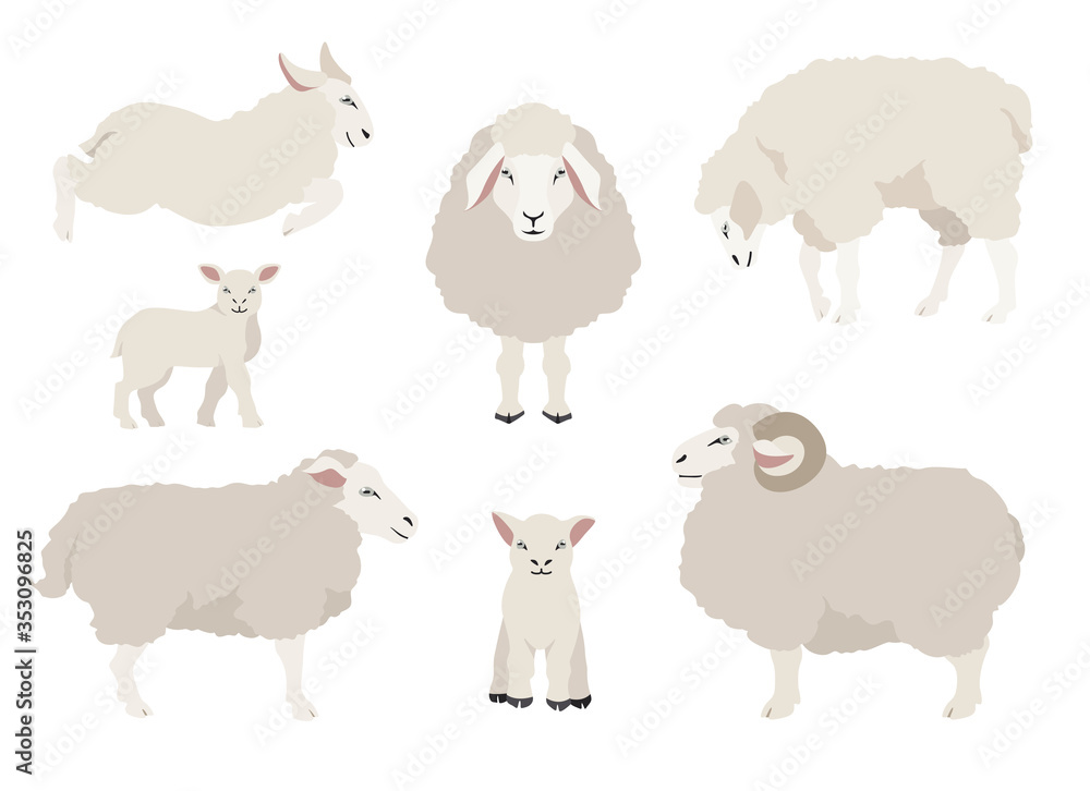 Fototapeta Sheep poses collection. Farm animals set. Flat design