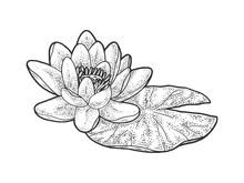 Lotus Nelumbo Water Lily Flowe...