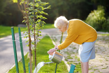Senior Woman Volunteer Watering A Tree From Watering Can In A Public Park Or Community Garden.