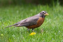 Robin Red-breast