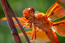 Summer Flame Skimmer Dragonfly II