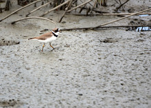 A Piping Plover Walking In A Mud Flat.