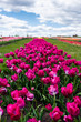canvas print picture - selective focus of colorful purple tulips in field with blue sky and clouds