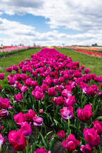 Selective Focus Of Colorful Purple Tulips In Field With Blue Sky And Clouds