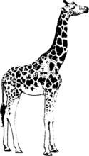Hand Drawn Wild Animal. Giraff...