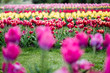 canvas print picture - selective focus of beautiful colorful tulips growing in field
