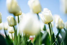 Close Up View Of Beautiful White Tulips With Green Leaves Against Blue Sky