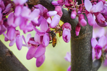Bee Collecting From Redbud Tree Flowers Macro