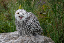Juvenile Snowy Owl With Its Mo...